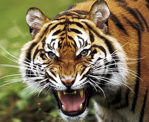 A tiger snarls in this undated file pict